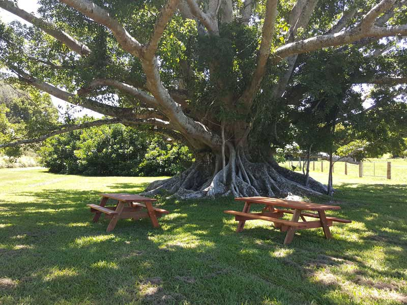 Two picnic tables under a fig tree